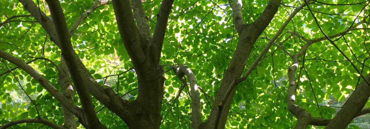Greenway Tree
